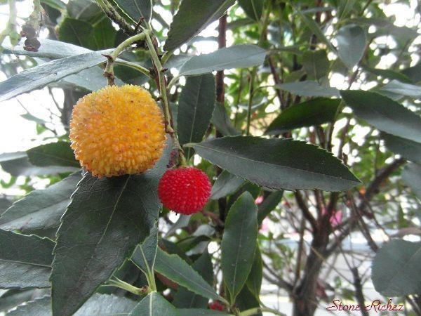 Fruits de l 39 arbousier - Fruit de l arbousier ...